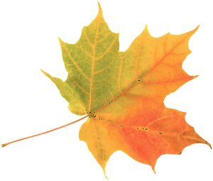 Autumn-Maple-Leaf